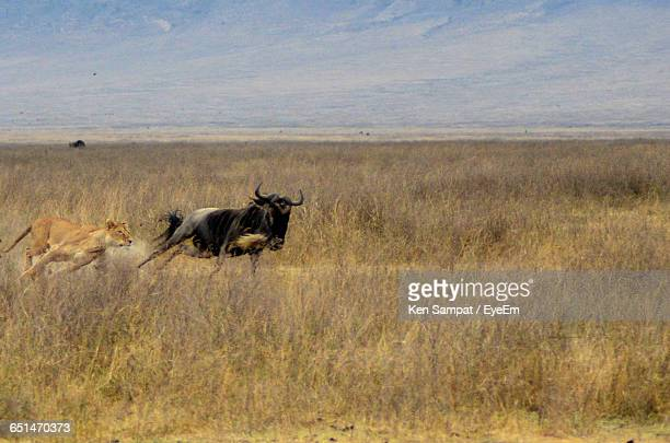 Lioness Hunting Wildebeest On Grassy Field Against Sky