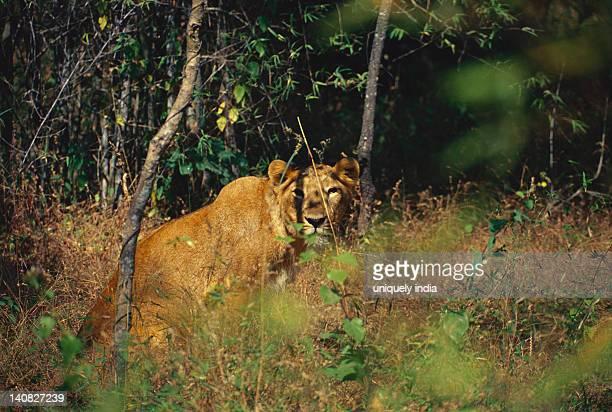 Lioness (Panthera leo) in a forest, Bandipur National Park, Chamarajanagar, Karnataka, India