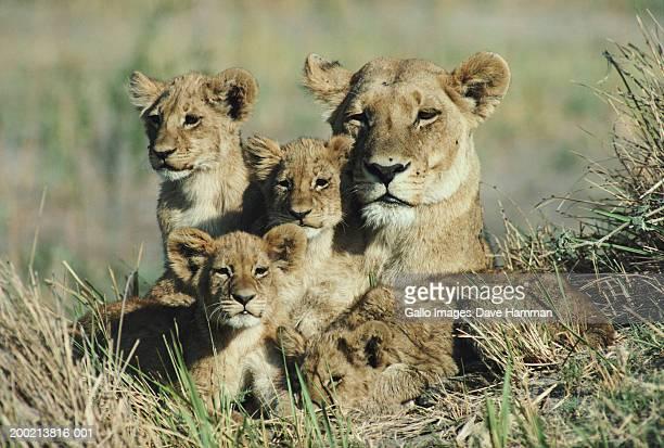 lioness (panthera leo) in field with cubs - lion cub stock-fotos und bilder
