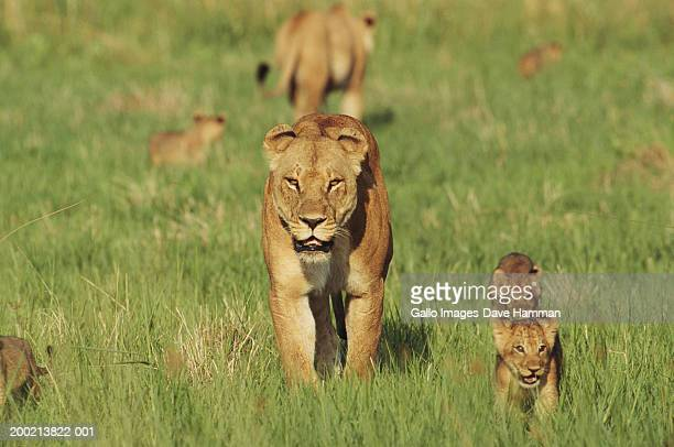 lioness (panthera leo) in field with cubs - lioness stock pictures, royalty-free photos & images