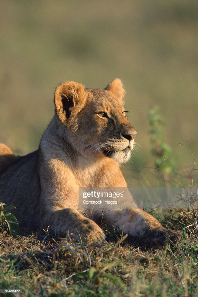 Lioness in grasslands , Kenya , Africa : Stockfoto