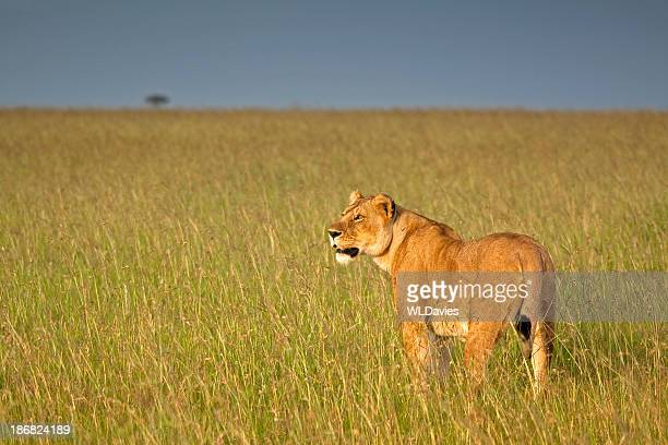 Lioness in high grass