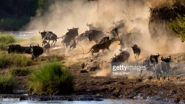 Lioness in middle of the wildebeest