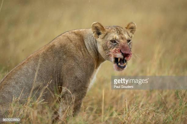Lioness in Rain, Masai Mara Game Reserve, Kenya