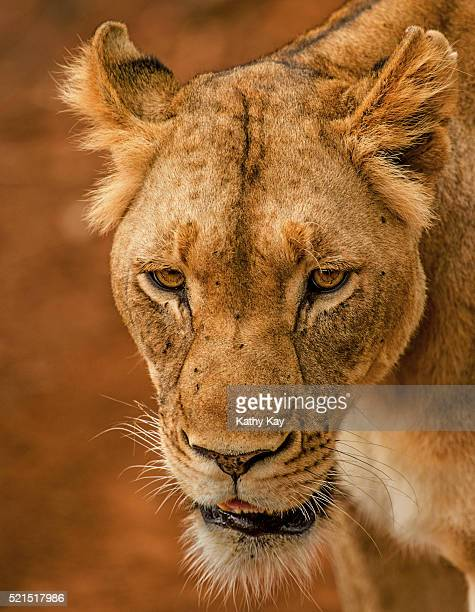 lioness in red sand