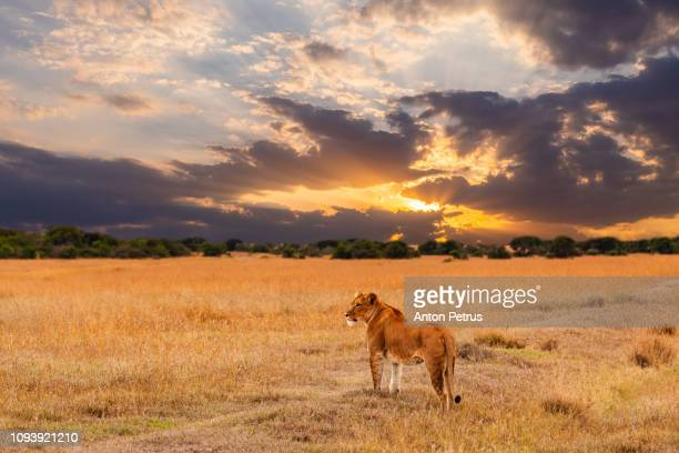 lioness in the african savanna at sunset. kenya. - tanzania stock pictures, royalty-free photos & images