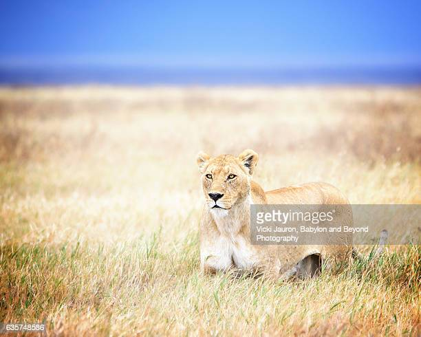 Lioness in the Grass in Ngorongoro Crater, Tanzania, Africa