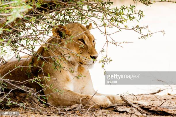 Lioness in the wild in the Kalahari game park, South Africa