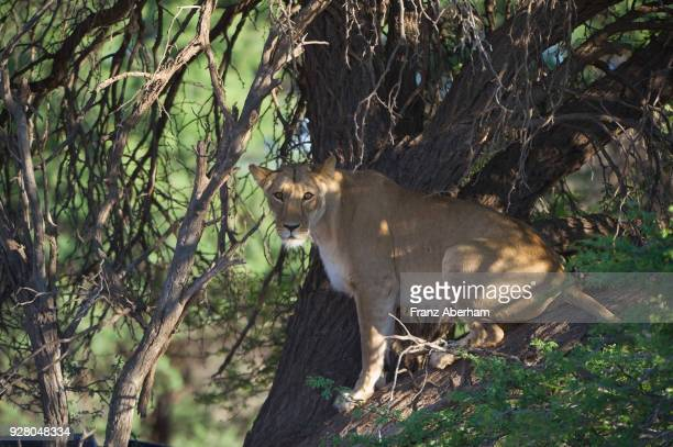 Lioness in tree, Kgalagadi Transfrontier Park, South Africa