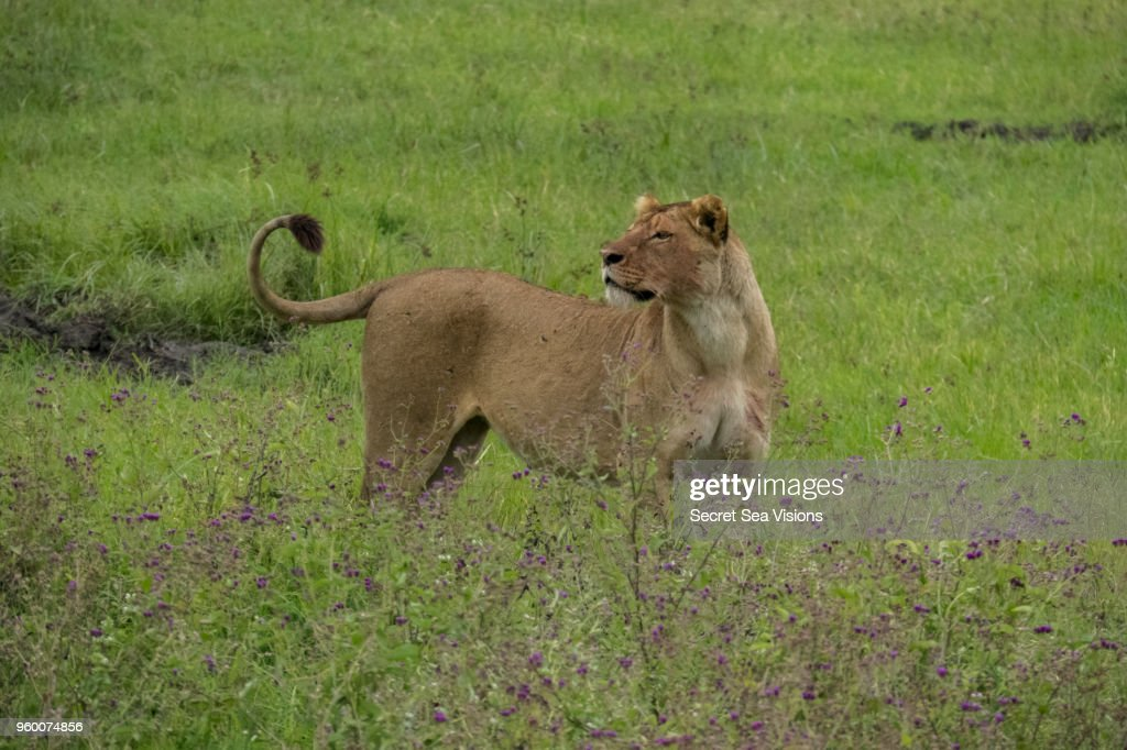 Lioness in wildflowers : Stock-Foto