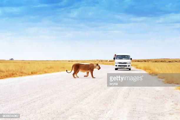 雌ライオンが近づいて豊田ミニバス、ナミビア ・ エトーシャ国立公園の前の道路を横断します。 - トヨタ自動車 ストックフォトと画像