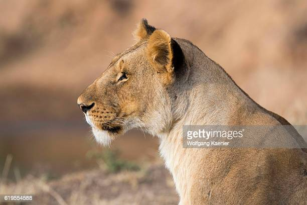 A lioness is laying on the banks of the Mara River in the Masai Mara National Reserve in Kenya