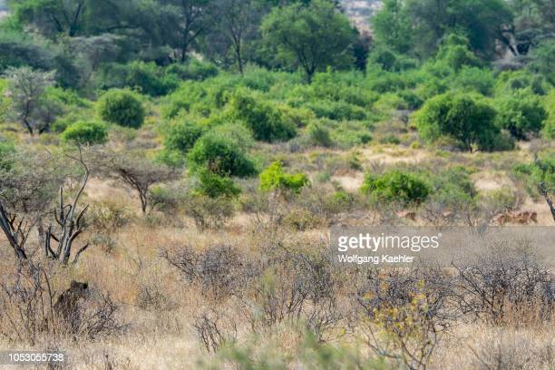 A lioness is looking for prey in the Samburu National Reserve in Kenya