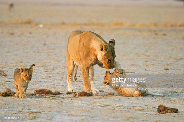 Lioness (Panthera leo) is playing with her cups, Nxai Pan, Makgadikgadi Pans National Park, Botswana, Africa
