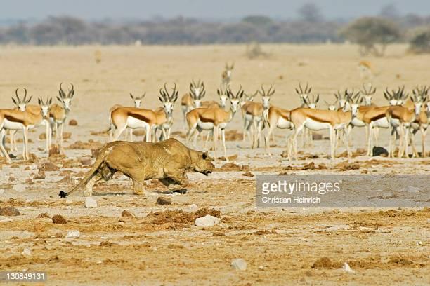 lioness (panthera leo) is still hunting a springbok (antidorcas marsupialis), nxai pan, makgadikgadi pans national park, botswana, africa - lion attack stock pictures, royalty-free photos & images