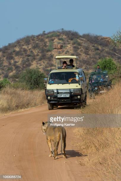 A lioness is walking on a road looking for prey in the Samburu National Reserve in Kenya with safari vehicle in the background