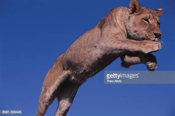 Lioness Jumping