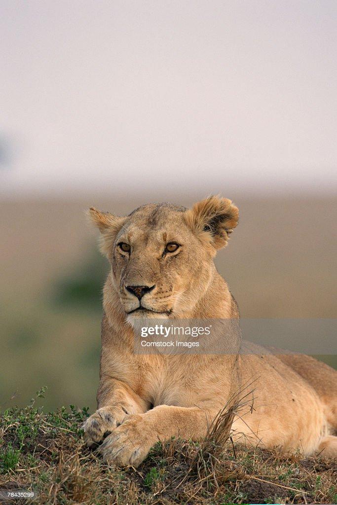 Lioness , Kenya , Africa : Stockfoto