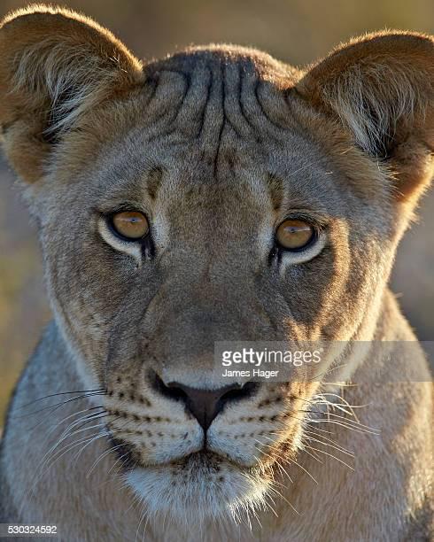 Lioness (Lion, Panthera leo), Kgalagadi Transfrontier Park (encompassing the former Kalahari Gemsbok National Park), South Africa