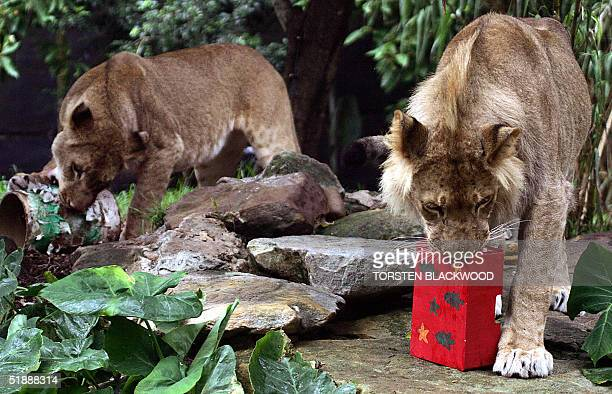 Lioness Kuchani and her oneyearold cub Johari play with their Christmas treats at Taronga Zoo in Sydney 23 December 2004 The Christmas gifts form...