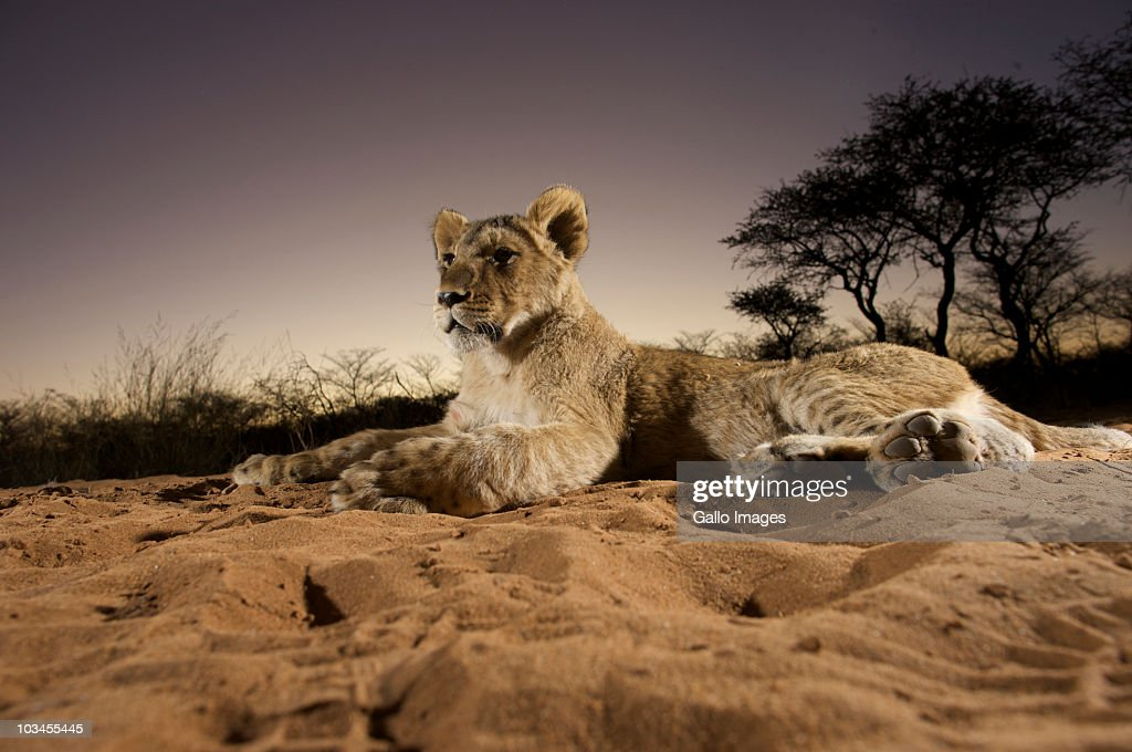 Lioness (Panthera Leo) laying in sand at sunset, Namibia : Foto stock