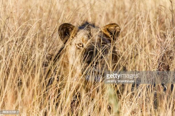 lioness laying in tall grass - leones cazando fotografías e imágenes de stock