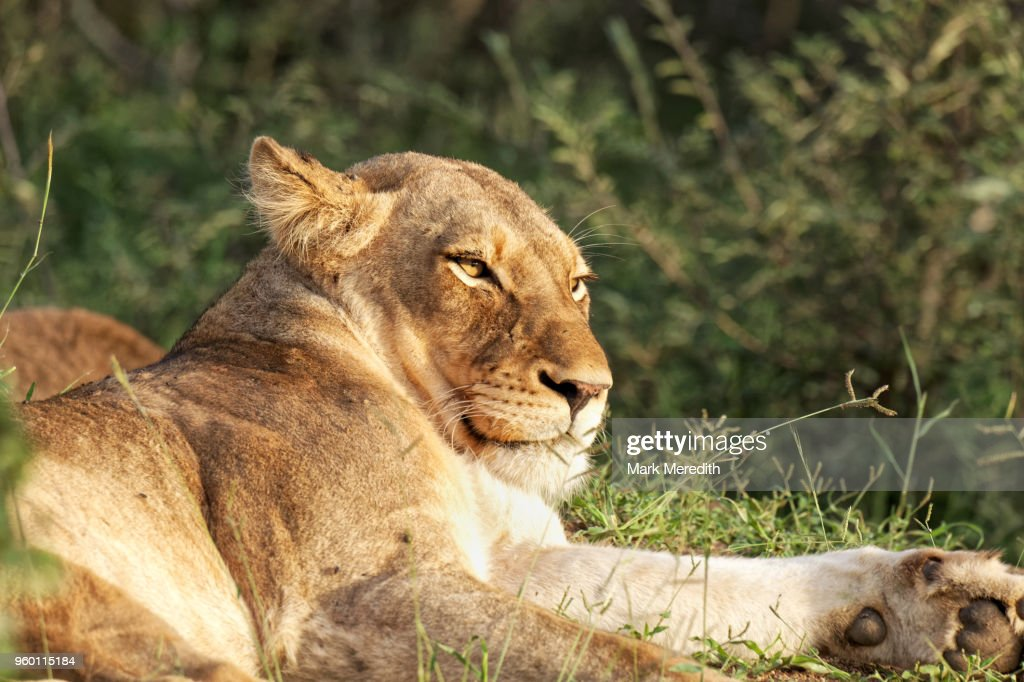 Lioness lazing in the Klaserie Reserve, Greater Kruger National Park : Stock Photo