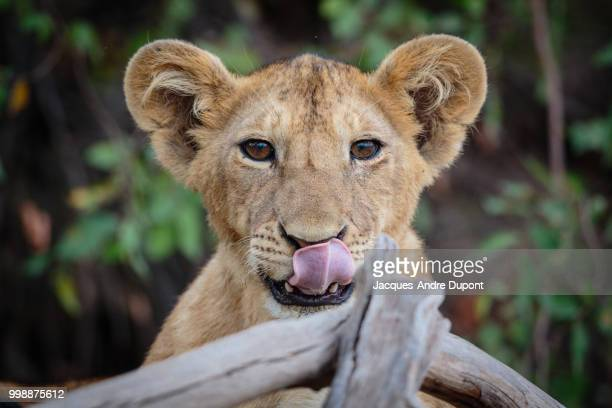 A lioness licking her lips.