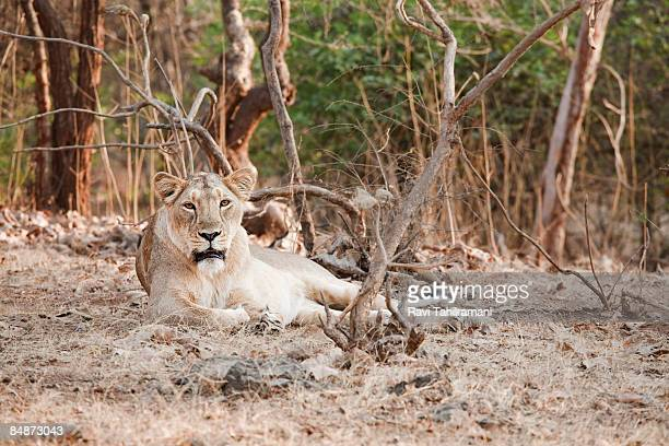 Lioness looking at camera