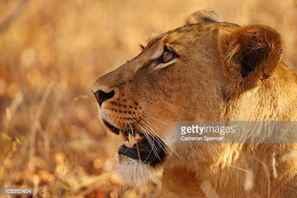 A lioness looks up at birds in a tree on July 19 2010 in the Edeni Game Reserve South Africa Edeni is a 21000 acre wilderness area with an abundance...