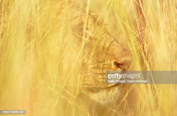 Lioness (Panthera leo) lying in tall grass, close-up