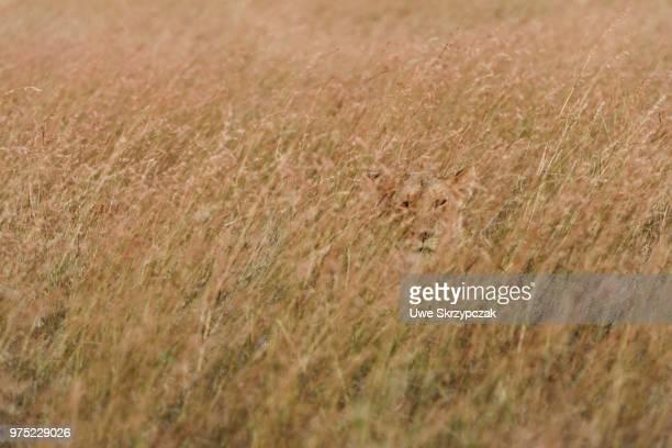 lioness (panthera leo) lying in the tall grass, looking out, maasai mara national reserve, narok county, kenya - leones cazando fotografías e imágenes de stock