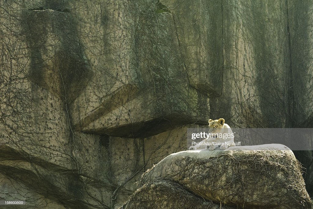 Lioness lying on a rock, Lincoln Park Zoo Chicago : Stock Photo