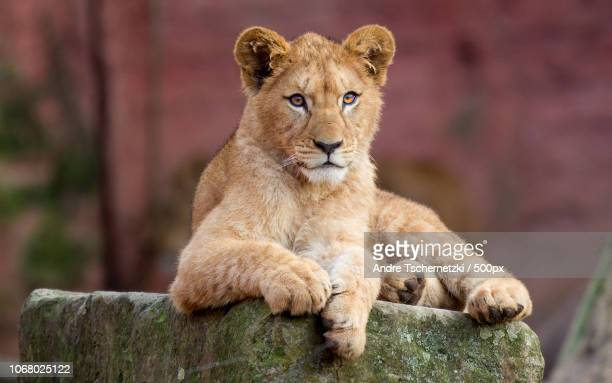 lioness (panthera leo) lying on rock - female animal stock pictures, royalty-free photos & images