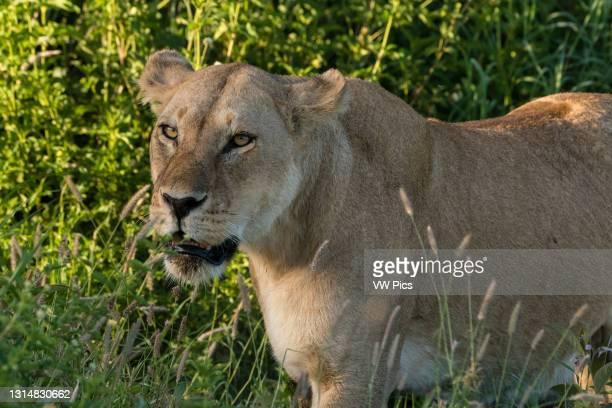 Lioness , Ndutu, Ngorongoro Conservation Area, Serengeti, Tanzania..