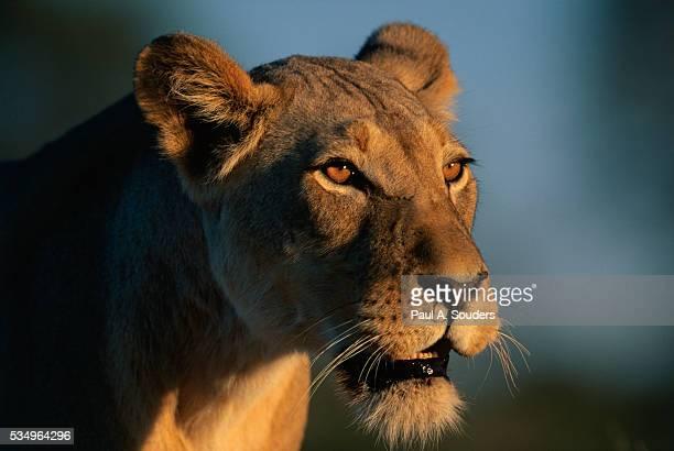 Lioness Near Nossob River