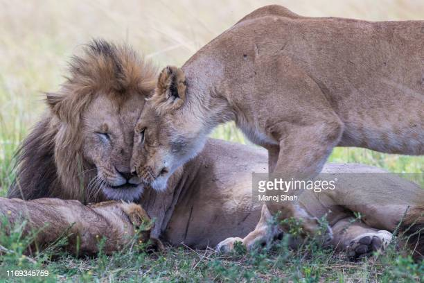 a lioness nuzzles a sleepy male lion in masai mara. - cute animal stock pictures, royalty-free photos & images