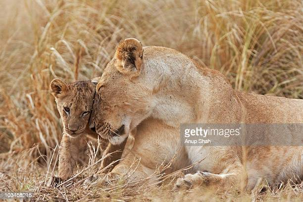 Lioness nuzzling her 4 month old cub