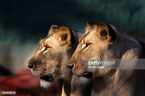 Lioness' Nyala and Kayla are sisters who both carry the gene for the white color form of lion and who live at the Capron Park Zoo in Attleboro The...
