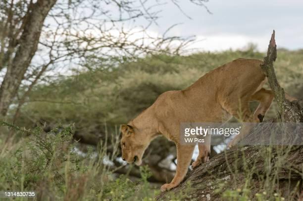 Lioness on a tree, Ndutu, Ngorongoro Conservation Area, Serengeti, Tanzania..