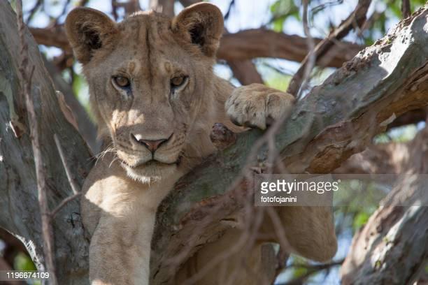 木の上のライオンタンザニア - fotofojanini ストックフォトと画像
