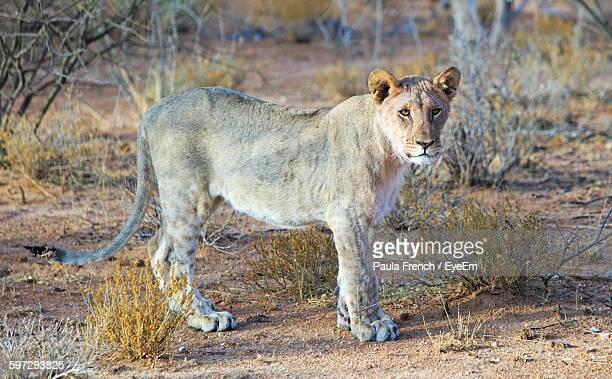 Lioness On Field At Etosha National Park