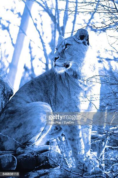 lioness on field - sankt poelten stock pictures, royalty-free photos & images