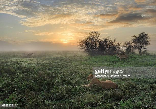 Lioness On Grassy Field Against Cloudy Sky During Sunset