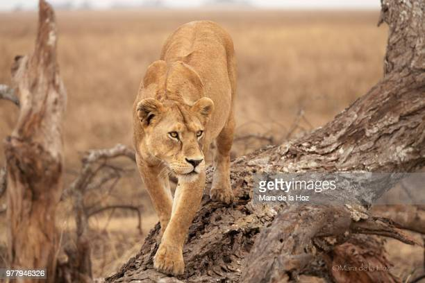 lioness on savannah in serengeti national park, tanzania - female animal stock pictures, royalty-free photos & images