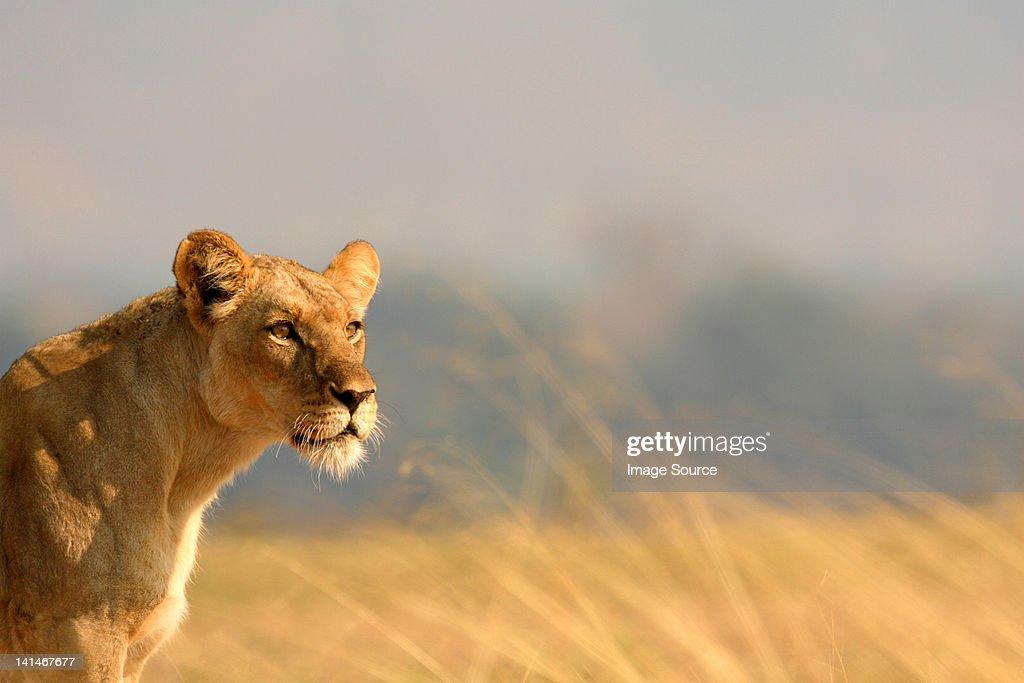 Lioness on savannah : Stock Photo