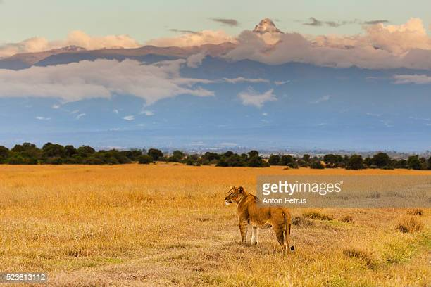 Lioness on the background of Mount Kenya
