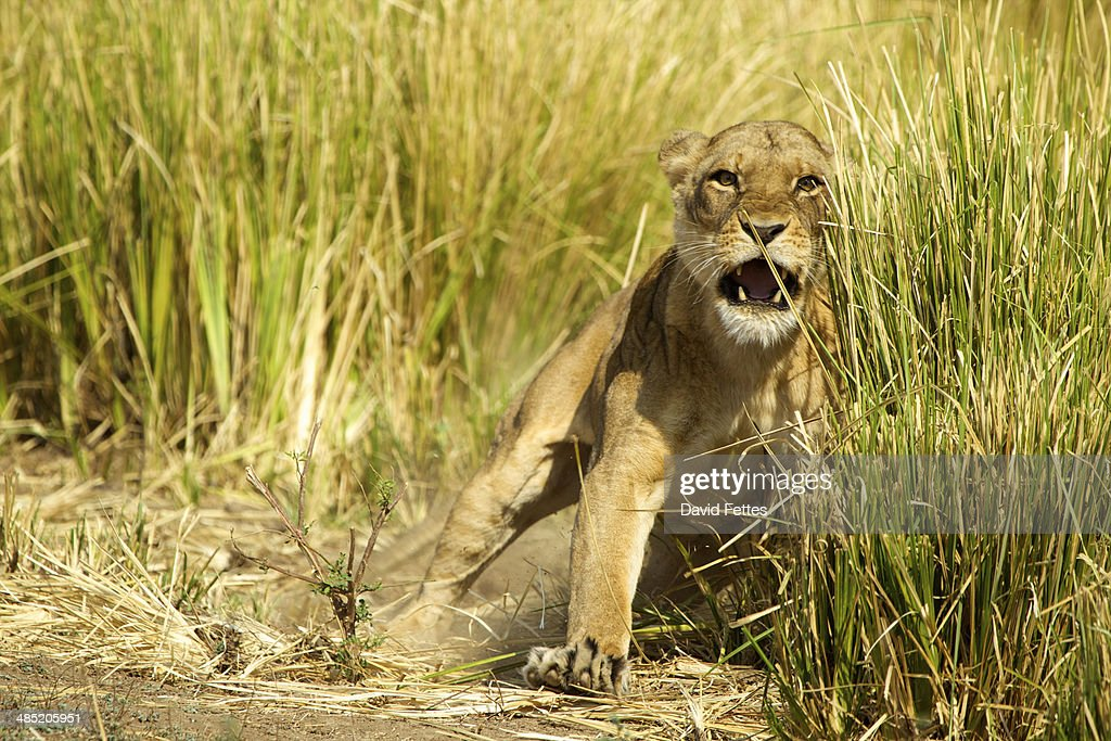 Lioness Panthera Leo Charging To Protect Her Young Cubs In The Grass