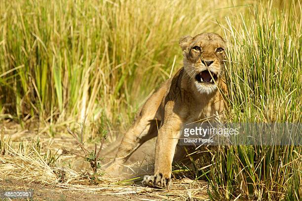 Lioness - Panthera leo - charging to protect her young cubs in the grass