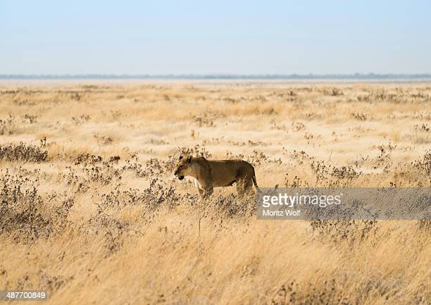 Lioness -Panthera leo- in steppe, Etosha National Park, Namibia